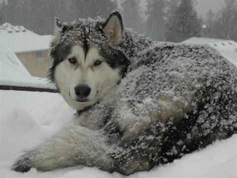 Latvijā sastopamās suņu šķirnes. (1.daļa) - Spoki