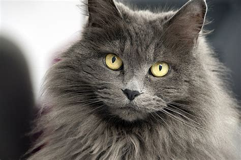 hair cat breeds hair or hair which cat breeds do you prefer