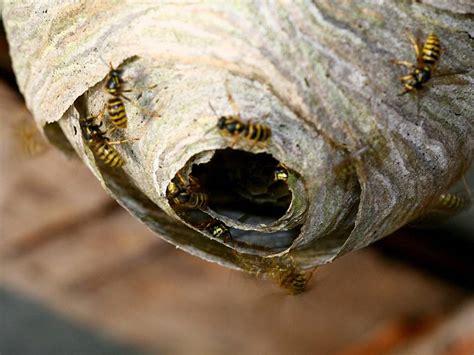 wie sieht ein wespennest aus wespennest entfernen tipps zum umgang mit wespen