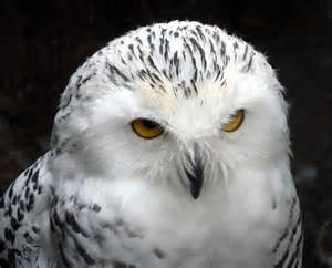 Snowy Owl at Small Breeds Farm and Owl... © Christine ...