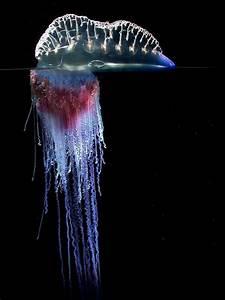 Portuguese Man o' War Jellyfish | Portuguese Man O' War ...