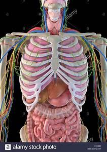 Human Rib Cage Organs Gallery