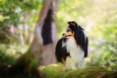 Shetland Sheepdog Dog Dogs Bokeh Pets Animals