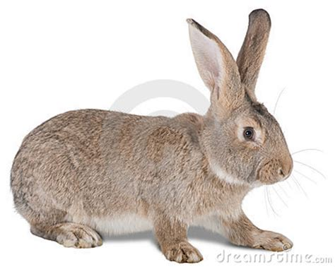 rabbit farm animal royalty  stock photo image