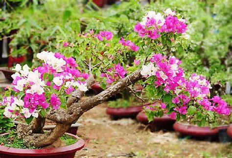 merawat bunga kertas bagi pemula tanaman hias bunga