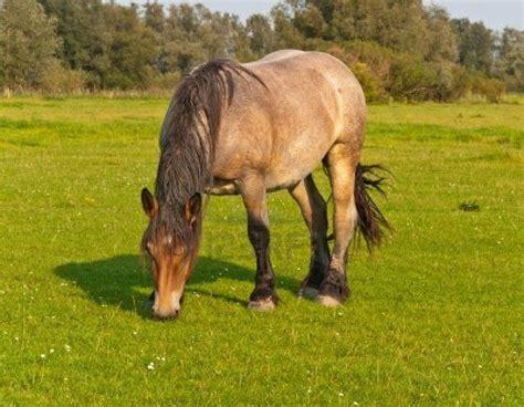 horse order equidae weebly evolution modern odd toed ungulate perissodactyla