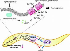 Model Of C  Elegans Lifespan Control By Thermosensory Afd Neurons