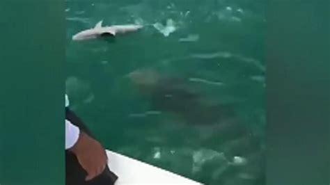 grouper shark goliath eats florida pound he caught fishing fishermen sucked shocked fox massive eaten sharks being kills eat lifestyle