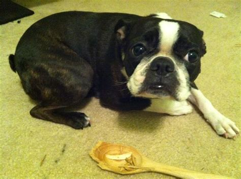 Problems Only Boston Terrier Owners Will Understand