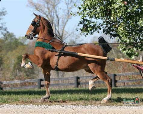 hackney horse pony ponies horses breeds carts harness england crossed saddlebred hand da equine cool mini colors willy pretty christopher