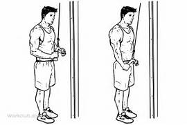 Triceps Cable Pushdown   Illustrated Exercise guide - WorkoutLabs  Tricep Pulldown Vs Pushdown
