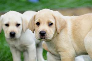Pin Yellow Labrador Puppy Wallpapers Hd on Pinterest