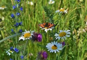 Wiese Mit Blumen : blumenwiese foto bild tiere wildlife schmetterlinge ~ Watch28wear.com Haus und Dekorationen
