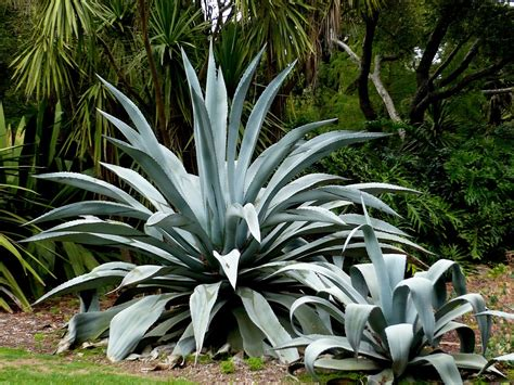 agaves plant agave century plant maguey
