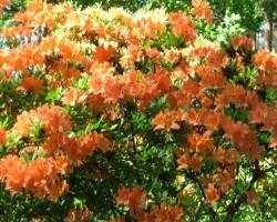 zied rododendri Babītē - Es | Foto.oHo.lv