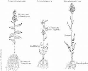 Bau Der Pflanze : allgemeines zu orchideen von norbert novak ~ Lizthompson.info Haus und Dekorationen