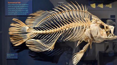 skeleton fish fishes bass harvard skeletons tripletail flat atlantic september through museum natural history anatomy tattoos