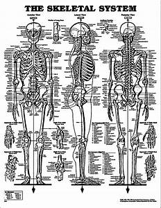 Skeletal System Sketch Drawing Coloring Page