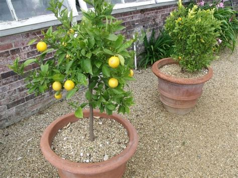 limone potatura vaso limone in vaso potatura coltivazione limone in vaso