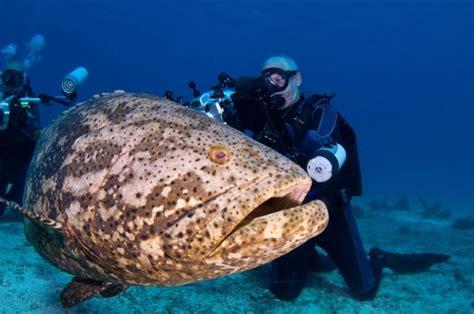 grouper goliath giant fish atlantic caught underwater ocean jewfish dangerous endangered huge largest eat heaviest diver pouted sea playstation finton
