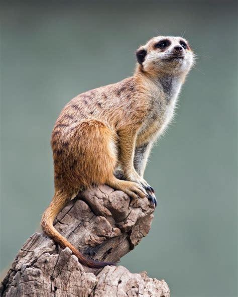 images  meerkats  pinterest africa zoos