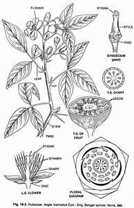 Rutales  Family  Rutaceae