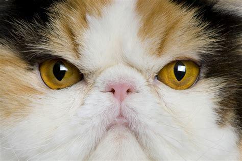sur le canapé les différentes races de chats d 39 intérieur