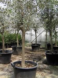 Planter Un Olivier En Pot : comment planter un olivier de 30 ans ~ Dode.kayakingforconservation.com Idées de Décoration