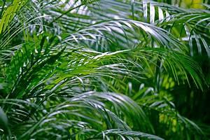 Feucht Werden Tipps : areca palme pflegen gie en d ngen umtopfen und mehr ~ Lizthompson.info Haus und Dekorationen