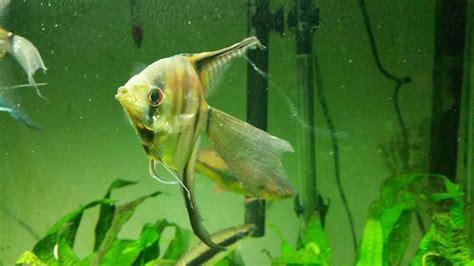 angelfish internal parasites hexamita  aquarium club