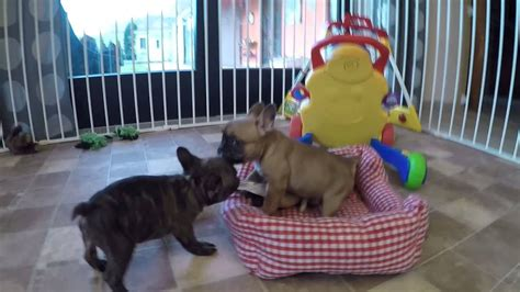 franzoesische bulldoggen welpen french puppy youtube