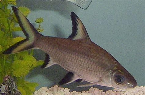 bala shark silver bala shark balantiocheilos melanopterus by dianesdigitals flickr photo sharing
