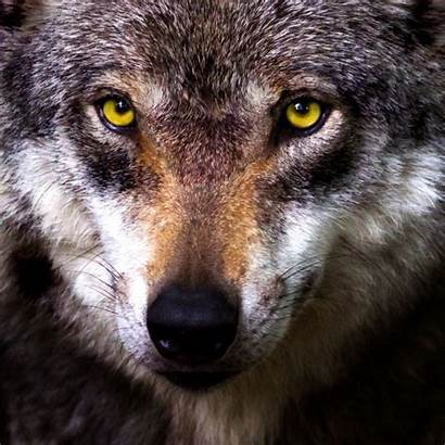 Wolf Face Wolves Domain Gesicht Dogs Domestication