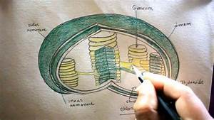 How To Draw Chloroplast Step By Step  Plastid Drawing  For