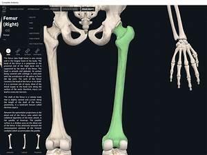 Bones  Femur   U2013 Anatomy  U0026 Physiology