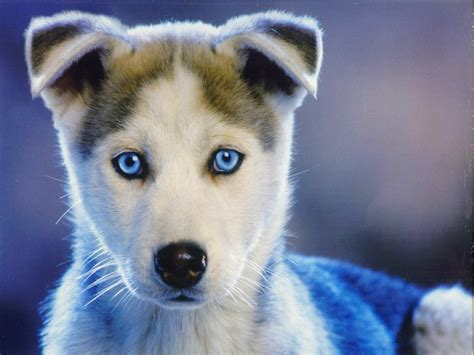 Blue Eyed Puppy By Serval On Deviantart