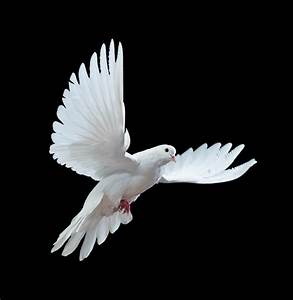 White pigeon flying mobile wallpapers - Mobile wallpapers