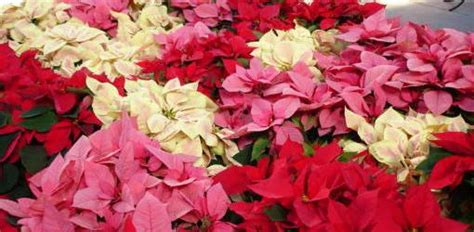 grow poinsettias year  todays homeowner
