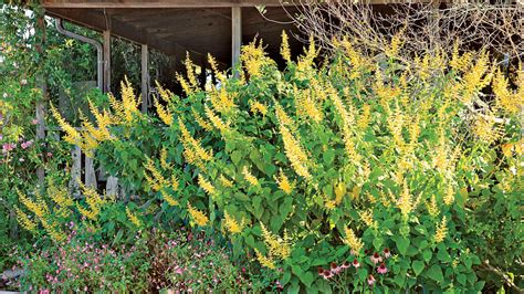 forsythia types forsythia sage s madrensis types of sage southern living