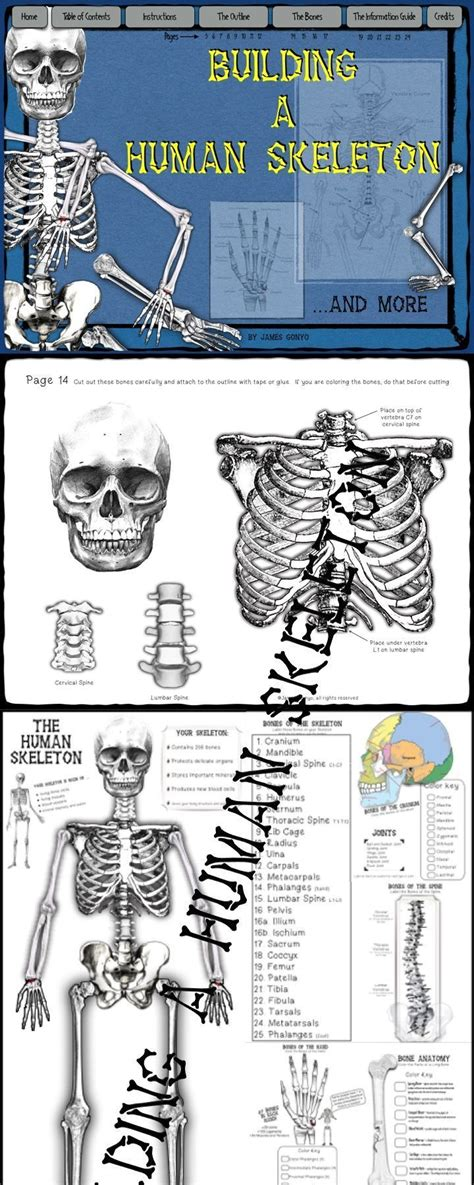 Resume Skeleton by Best 25 Human Skeleton Labeled Ideas On