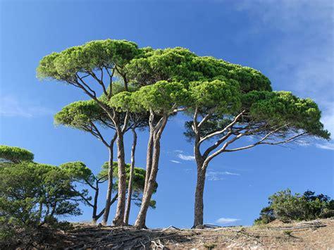 arbre feuillage persistant croissance rapide la paysagerie
