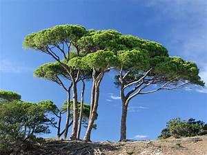 Arbre Ombre Croissance Rapide : arbre feuillage persistant croissance rapide la paysagerie ~ Premium-room.com Idées de Décoration