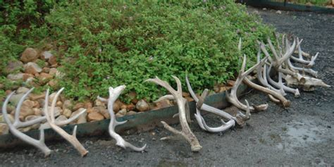 buck pole 2015 ddh shows your best shed antlers