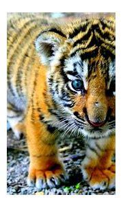 Wallpaper Tiger Herex Hd - Raging White tiger Wallpapers ...