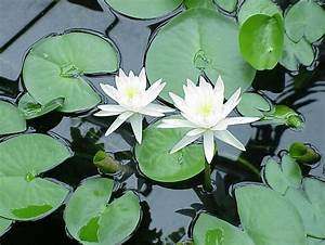 Water Lily  U2013 Edible Wild Plant  U2013 How To Find  Identify