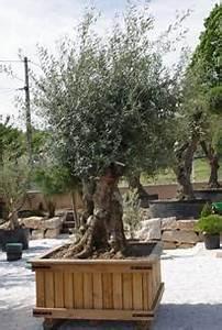 Planter Un Olivier En Pot : vente d oliviers en bac morbihan bretagne oliviers ~ Dailycaller-alerts.com Idées de Décoration