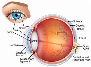 Draw A Neat And Labelled Diagram Of Structure Of The Human Eye Slwbyx77
