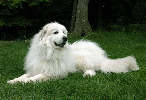 great pyrenees mountain dog names dog breeds picture