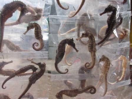 malaysia obat kuat kuda laut dan aneka kuat lainnya