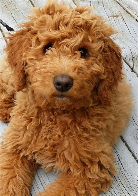 goldendoodle dog breeds personality history appearance health